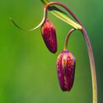 Chocolate Lilies #1