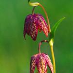 Chocolate Lilies #2