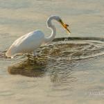 Egret with Prey