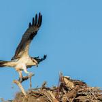 Osprey Bringing Breakfast for Mate